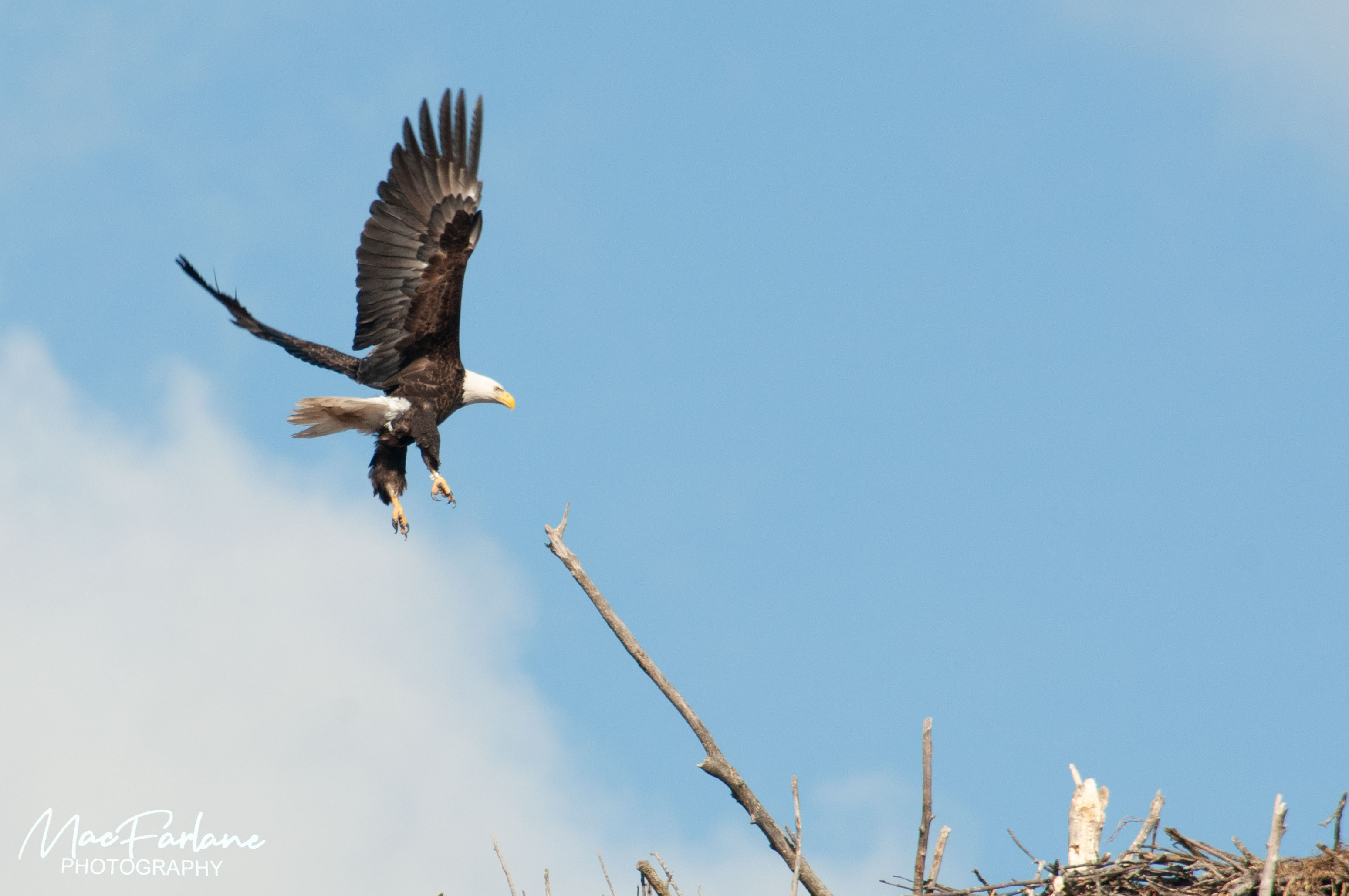 Bald Eagle approaching nest