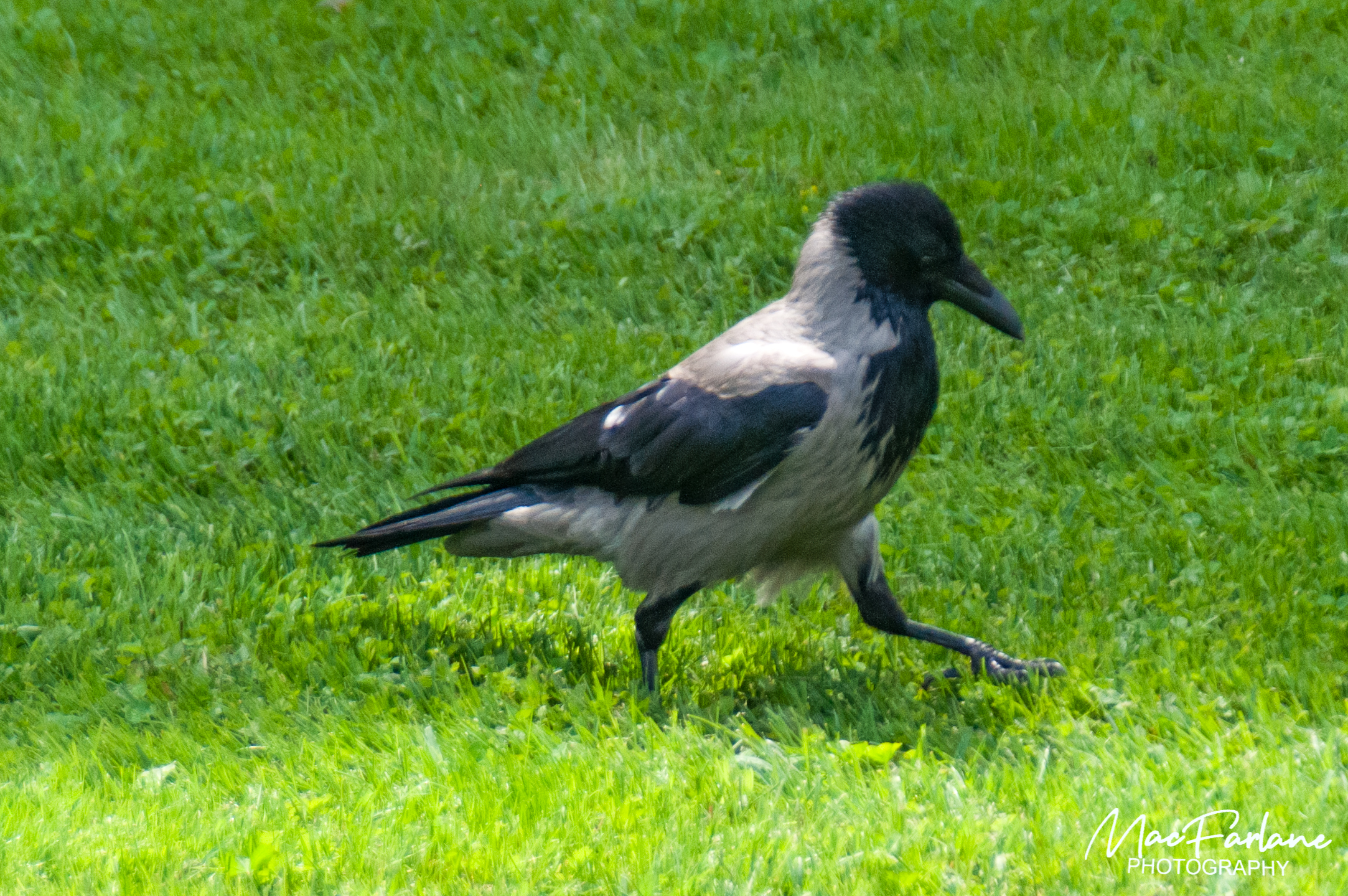 Hooded Crow (found in Europe)